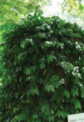 ティピカ種