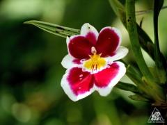 콜롬비아의 국가 꽃, 난초